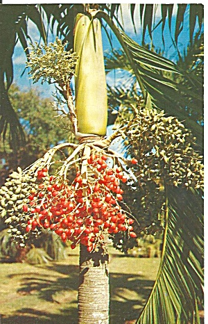 Coral Gables Florida Christmas Palm Veitchia Merrillil p31977 (Image1)