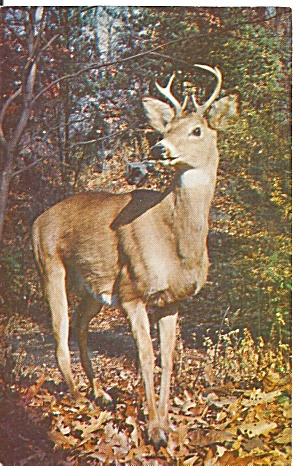 Pocono Mountains Pa Native Deer Postcard P32049