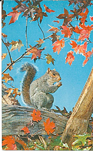 Pocono Mountains Pa Grey Squirrel Postcard P32050