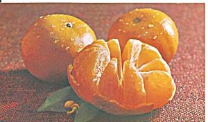 Florida Murcotts Oranges Postcard p32084 (Image1)