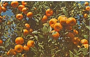 Florida Tangerines on the Tree p32085 (Image1)