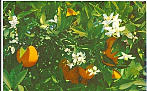 Florida Oranges And Orange Blossoms