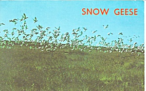 Pea Island National Wildlife Refuge NC Snow Geese p32269 (Image1)