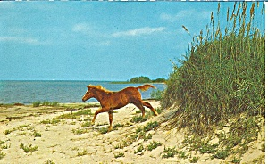 Outer Banks NC Wild Pony (Image1)