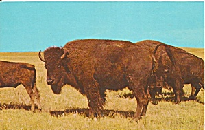 Custer State Park SD Bison Postcard p32272 (Image1)