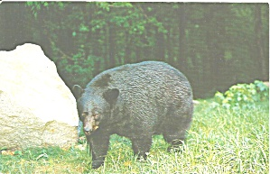 Great Smoky Mountain National Park Native Black Bear
