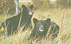 Great Smoky Mountain National Park Native Black Bears