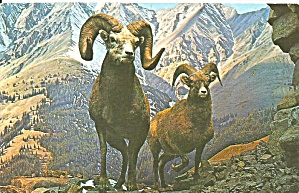 Canadian Rockies Big Horn Sheep Postcard P32361
