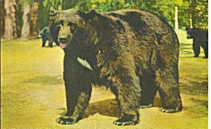 Yosemite National Park CA Black Bear  (Image1)
