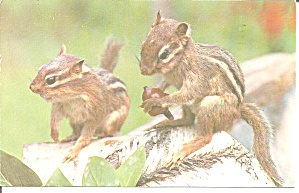 A Pair Of Chipmunks Postcard P32690