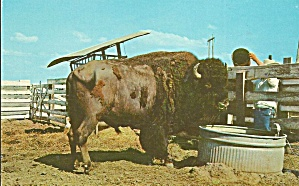 Afton OK  Buffalo Black Barney at Buffalo Ranch Postcard p32713 (Image1)