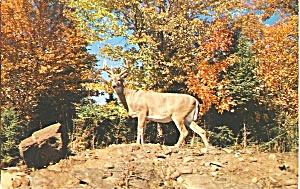 Poconos, PA  Whitetail Buck (Image1)