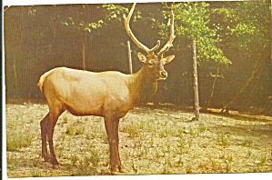 Pocono Wild Animal Farm PA American Elk p32718 (Image1)