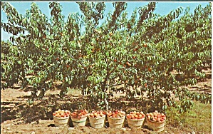 Peaches Ready for Market Postcard p32786 (Image1)