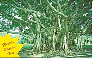 Florida Banyan Tree Postcard P32808