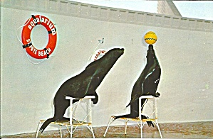 St Petersburg Beach FL Aquatarium Seals Playing Ball p32948 (Image1)