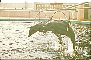 St Petersburg Beach FL Aquatarium Porpoises Jumping p32951 (Image1)