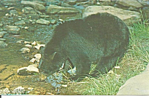 Black Bear Along a Mountain Stream (Image1)