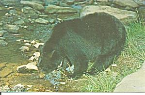 Black Bear Along a Mountain Stream Postcard p32980 (Image1)