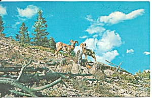 Big Horn Mountain Sheep Postcard P32981