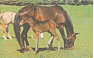 Mare And Proud Colt Horses Postcard P33003