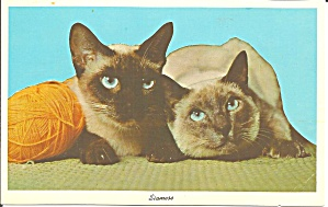 Pair Of Siamese Cats Postcard P33011
