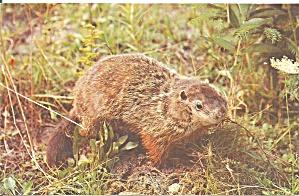 Cautious Beaver Postcard p33015 (Image1)