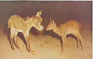 Pocono Wild Animal  PA Farm Sika Deer p33021 (Image1)
