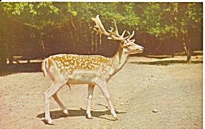 Pocono Wild Animal Farm European Spotted Fallow Deer p33022 (Image1)