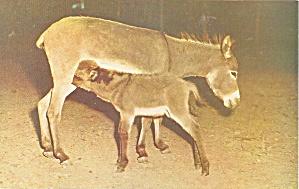 Pocono Wild Animal Farm Sicilian Donkey p33029 (Image1)