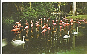 Sarasota Jungle Gardens Swans and Flamingos p33122 (Image1)