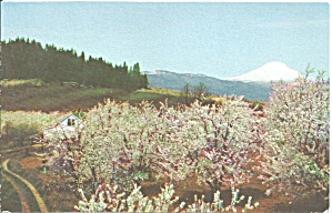 Hood River Or Fruit Trees And Mt Adams Wa P33275