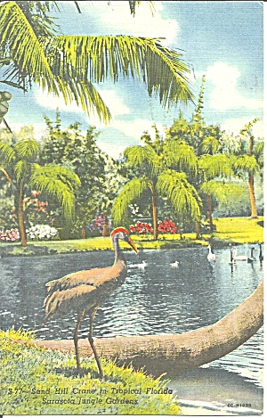 Sarasota Jungle Gardens FL Sand Hill Crane p33317 (Image1)