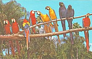 Playful Macaws Beneath Florida Palms Postcard p33321 (Image1)