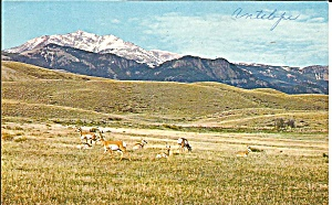 Pronghorn Antelopes At Play On The Great Plains Ostcard P33330