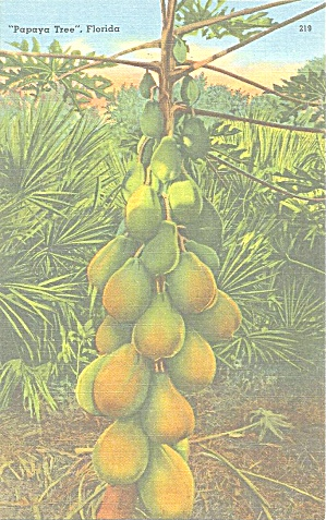 Papaya Tree Florida With Fruit Postcard P33345