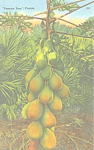 Papaya Tree Florida With Fruit Postcard p33345 (Image1)