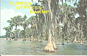 Florida Moss Drapped Cypress Trees P33358