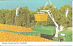Florida Loading Oranges In Groves P33368