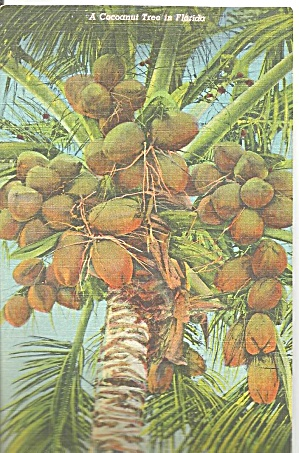 A Coconut Tree In Florida Linen Postcard P33390 1957