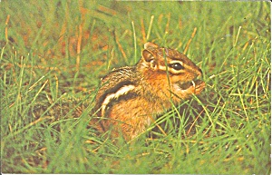 Chipmunk Postcard P33408