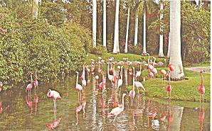 Sarasota Jungle Gardens Flamingos Postcard p33480 (Image1)