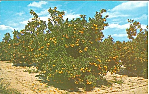 Orange Grove in Central Florida p33743 (Image1)