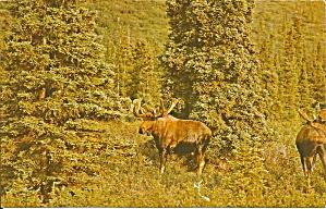 Alaska Moose Postcard p33937 (Image1)