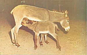 Stroudsburg Pa Sicilian Donkey And Two Day Old Colt P34023