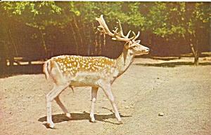 Stroudsburg PA European Spotted Fallow Deer p34024 (Image1)