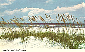 Florida Sea Oats And Sand Dunes P34143