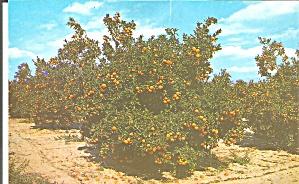 Orange Grove in Central Florida p34164 (Image1)