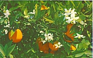 Orange Blossos and Oranges in Florida p34175 (Image1)