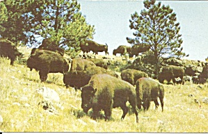 Black Hills Sd Buffalo At Custer State Park P34184